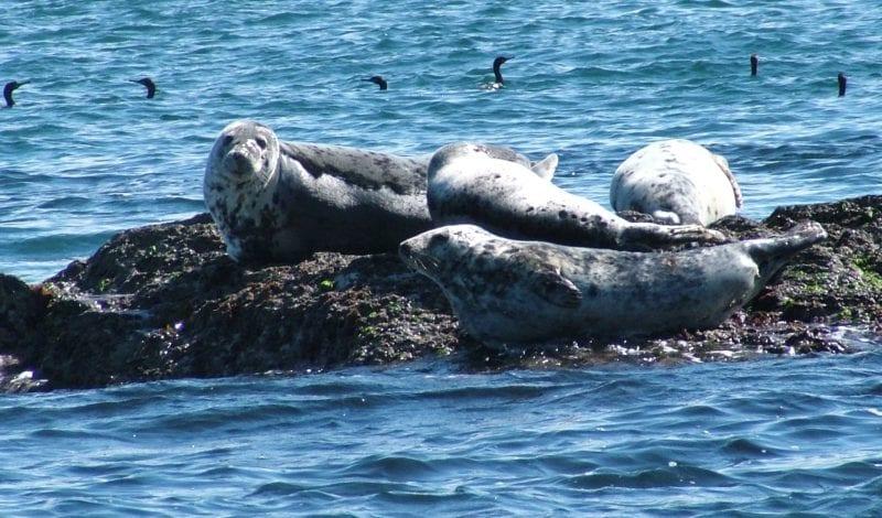 Lundy Island seals