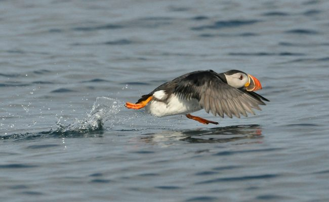 Devon's Top Attractions - Lundy island puffin