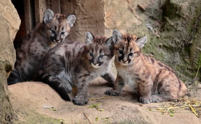 Exmoor Zoo 3 kittens