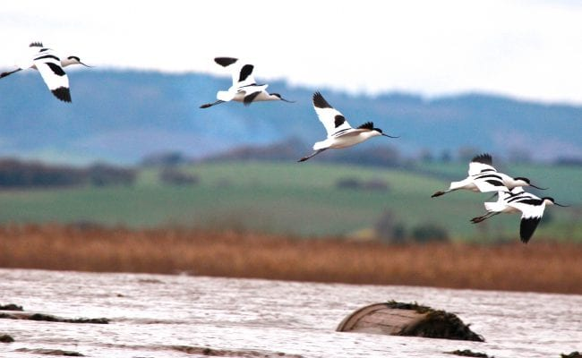 Stuart Line Cruises Avocets