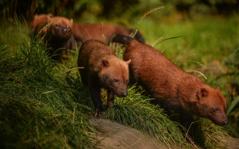 Exmoor Zoo - Bush dogs