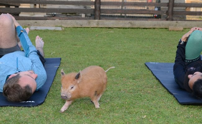 Pilates with miniature pigs