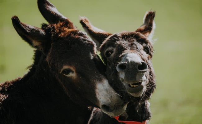 Donkeys playing in the field