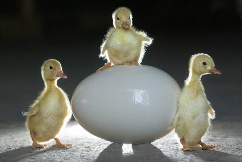 Easter chicks at Pennywell