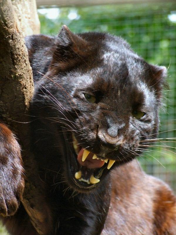 Exmoor Zoo Beast Of Exmoor
