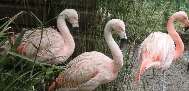 Exmoor Zoo Flamingoes new exhibit 2020 c