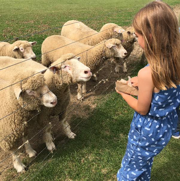 Feeding the sheep at The Big Sheep - devon's top attractions
