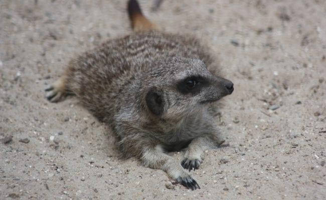 Meerkats Devon