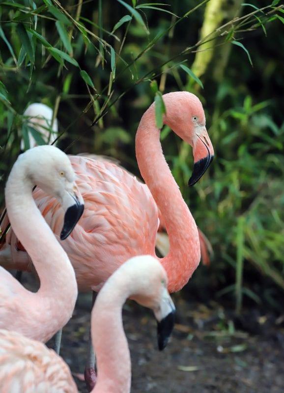 Exmoor Zoo flamingoes
