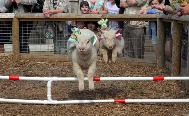 Lamb National at World of Country Life Exmouth Devon