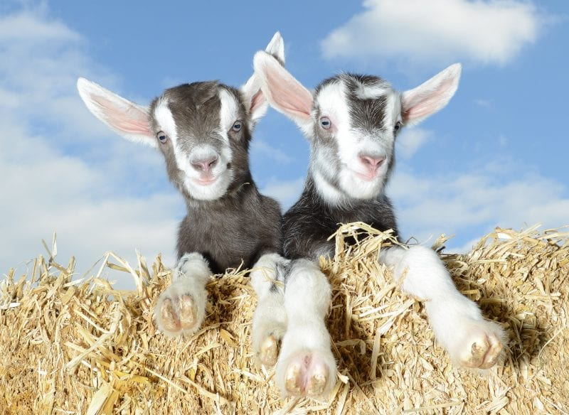 Pennywell goats