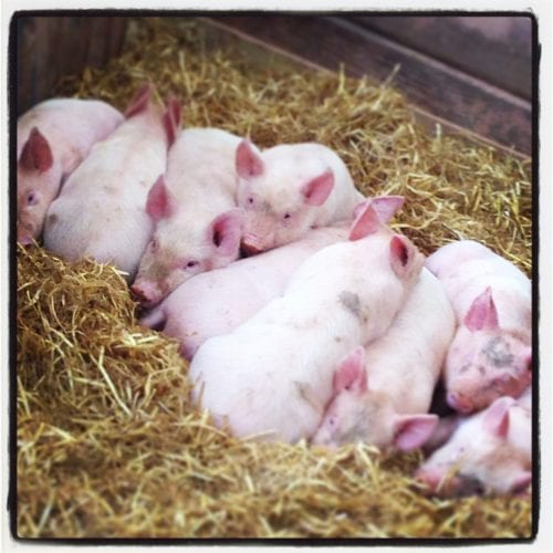Piggies at World of Country Life