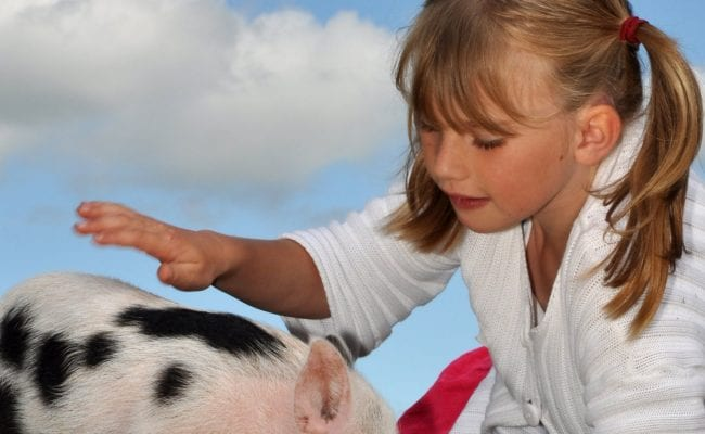 Child stroking a miniature pig