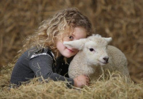 Big Sheep lambing live