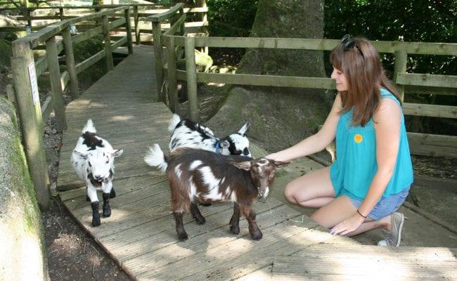 Goat Attractions Devon