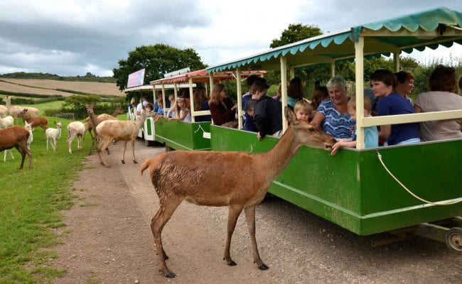 Deer Train at World of Country Life Exmouth Devon