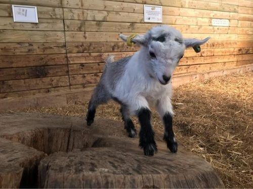World of Country life lamb pic