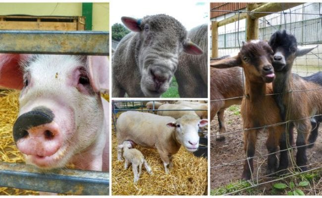 Goats sticking their tongues out, pigs and sheep all interacting with visitors