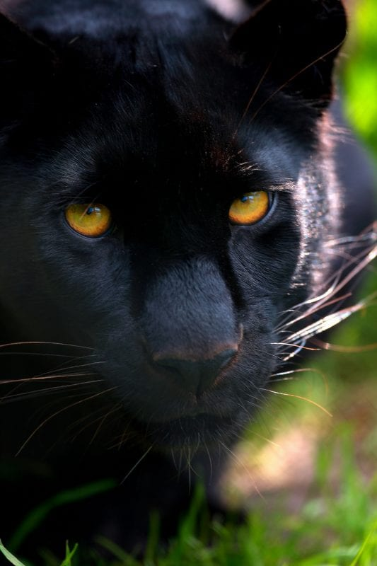 Ebony - Exmoor zoo black panther