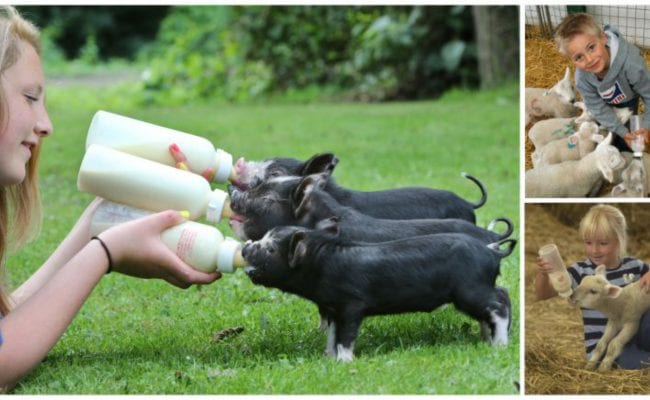 Lambs and piglets being bottle fed by children