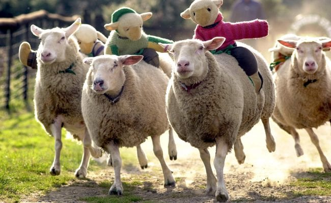Big Sheep - sheep racing