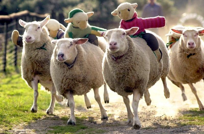 Big Sheep - sheep racing