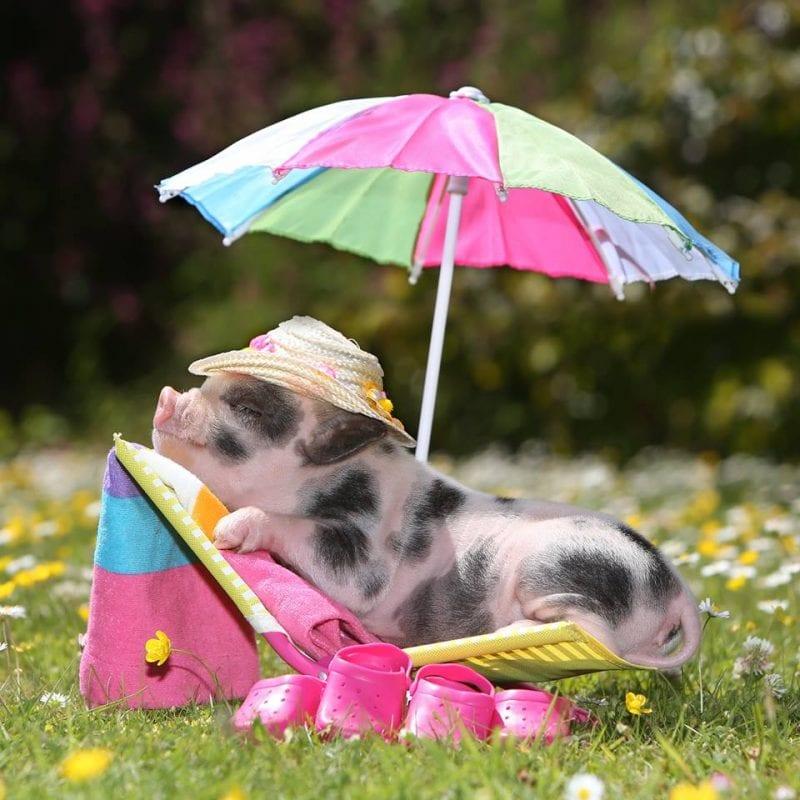 sunshine piggy at Pennywell Farm
