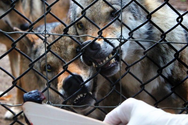Wildwood Escot Feeding Wolves experience