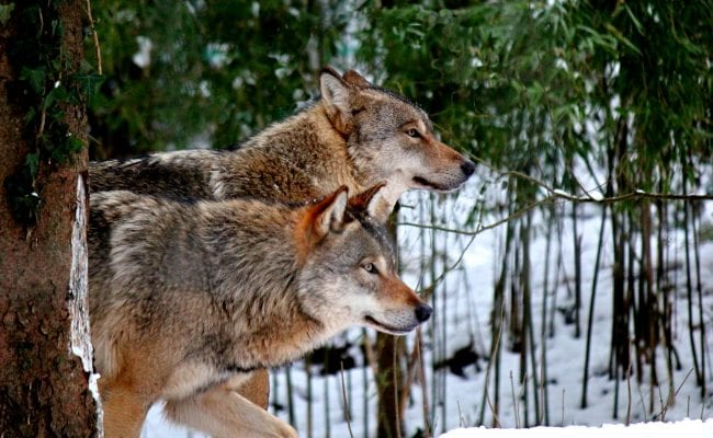 The wolves of Wildwood