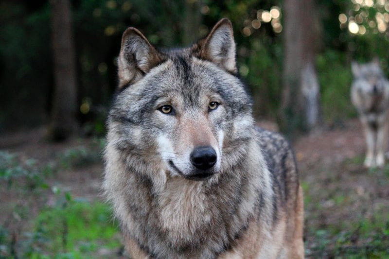 Wolves at Wildwood Escot