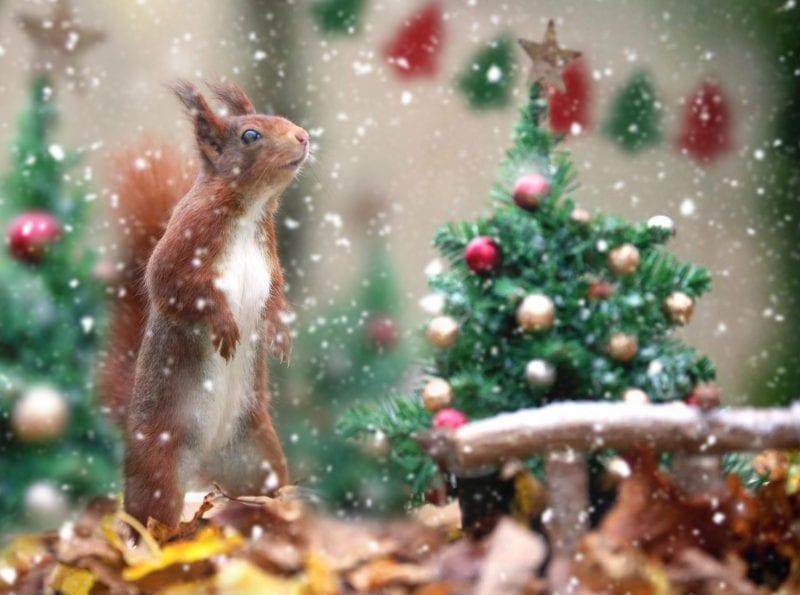 Redquirrel Xmas Wildwood Escot